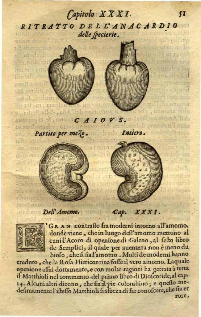 This image of a Cashew plant from Garcia de Orta's Book. Courtesy of The National Library of Medicine.